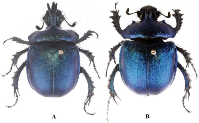 """Dorsal view of the holotype (museum specimen) of Enoplotrupes tawangensis. Photo from the published <a href=""""https://www.tandfonline.com/doi/abs/10.1080/00305316.2019.1624219"""" target=""""_blank"""" rel=""""noopener"""">paper</a>."""