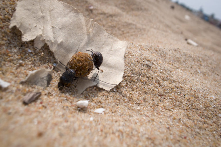 """Dung beetles at a beach in Chennai. <a href=""""https://www.flickr.com/photos/42161586@N00/8456188298"""" target=""""_blank"""" rel=""""noopener"""">Photo</a> by Shell Daruwala / Flickr."""