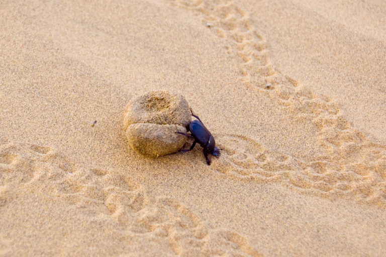A dung beetle finds subsistence in the deserts of Rajasthan. Photo by Peter Davis / Flickr.