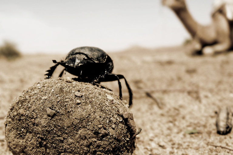 A dung beetle on camel dung in Rajasthan. Photo by Chris K. / Flickr.