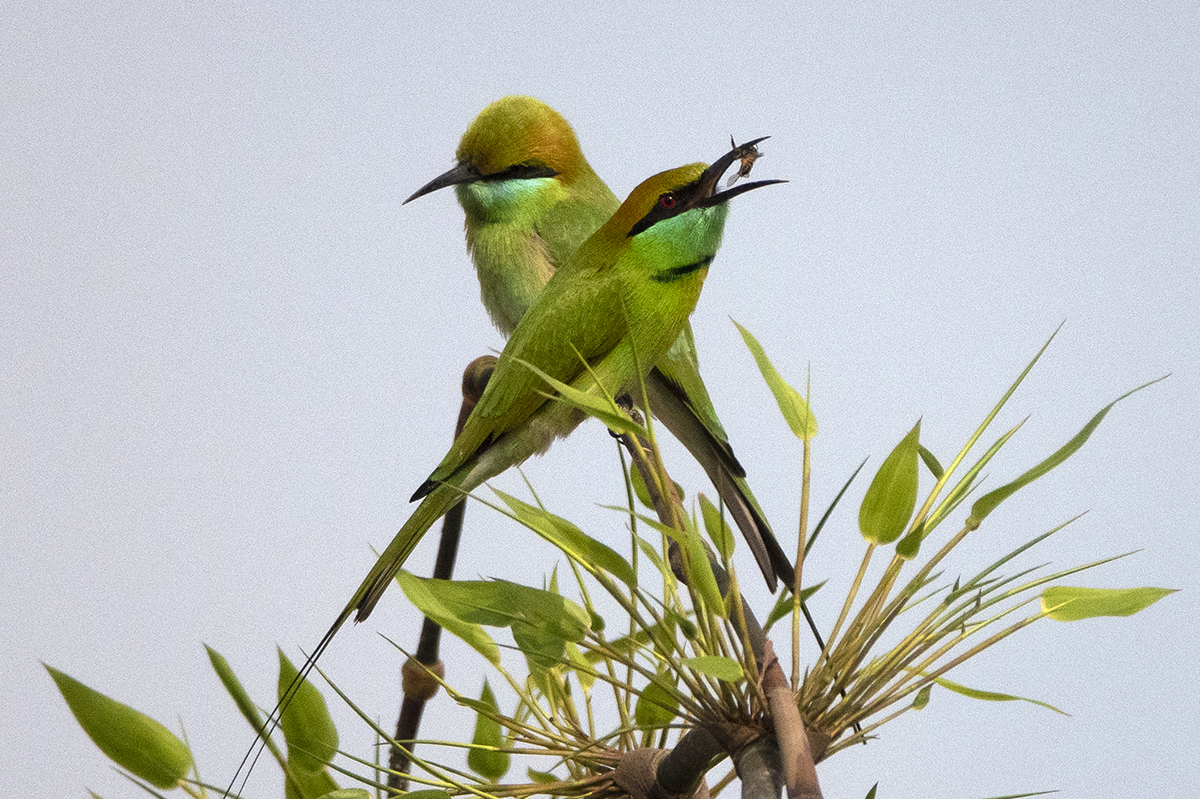 Bees are predated upon by a variety of creatures, including the one named for its bee-loving habit, the bee-eater. Here, green bee-eaters trash the sting and venom out of the bees before feeding on them. Photo by Arati Kumar-Rao.