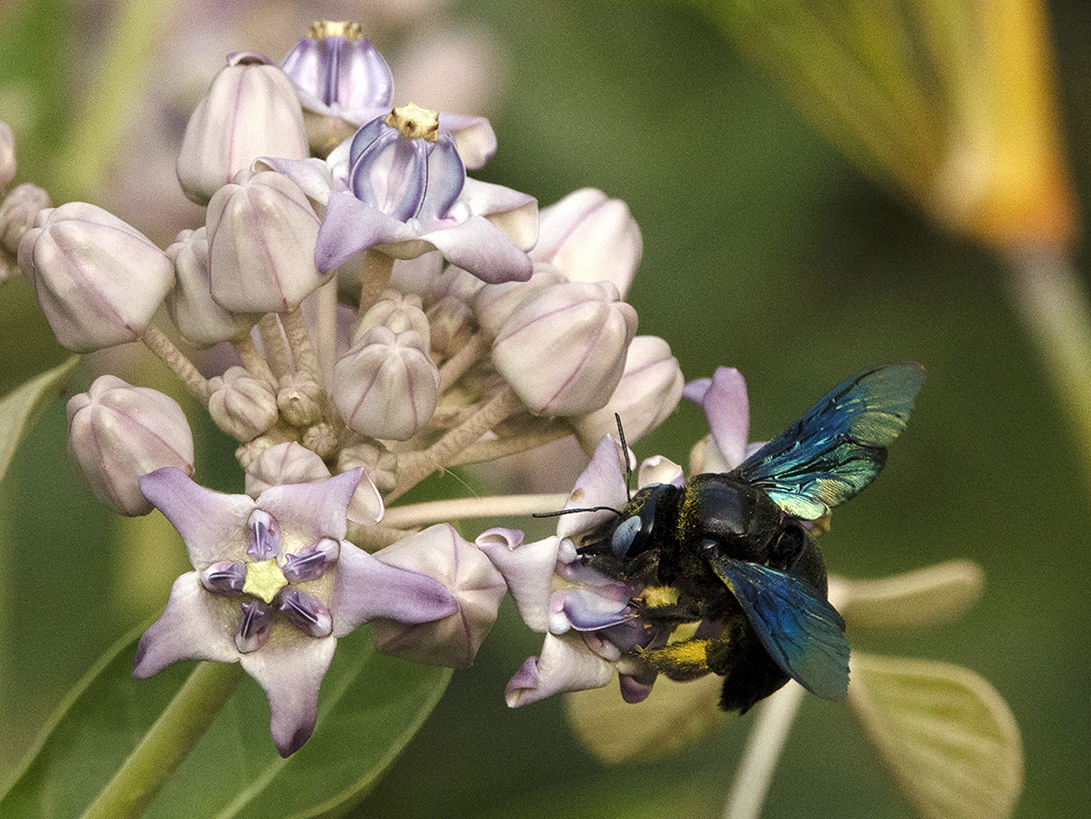 The Xylocopa latipes, a solitary bee species, is among the largest bees in the world. This is a female who has collected pollen and is carrying it on the fine hairs on her legs. Xylocopa's wings are iridescent not due to pigmentation but due to light refracting through nanostructures in their wings. Photo by Arati Kumar-Rao.