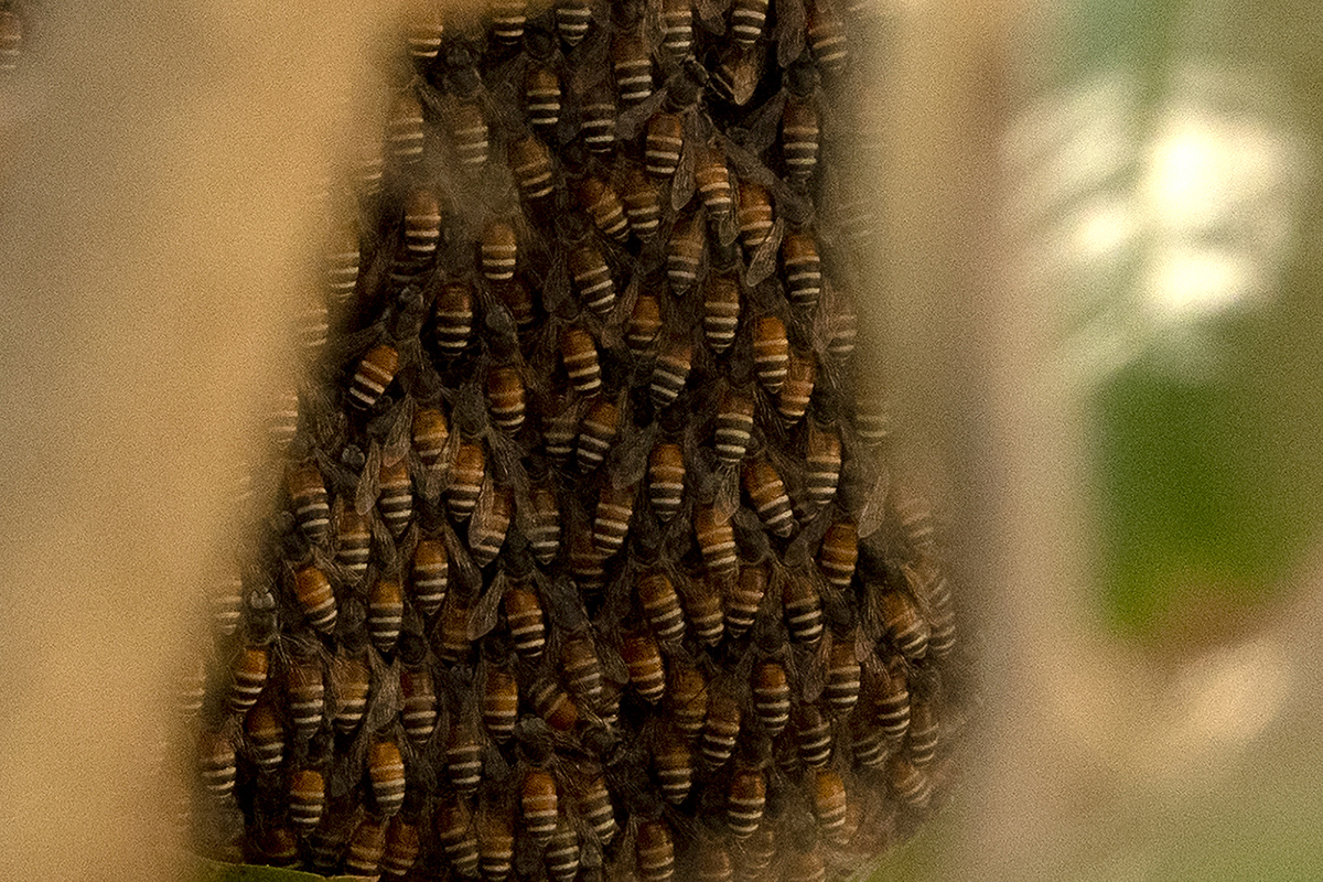 A hive of India's smallest native honey bee, the dwarf honey bee, Apis florea. The honey of this social bee has been considered, since ancient times, to be of the best quality, with medicinal properties. Photo by Arati Kumar-Rao.