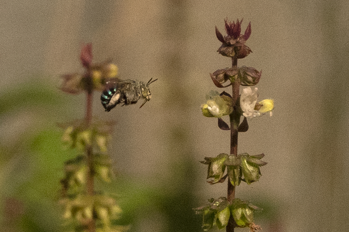 A blue banded bee (Amegilla sp.), a solitary bee species, pollinating a basil plant. Photo by Arati Kumar-Rao.