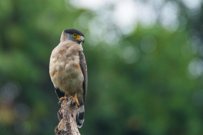 The Great Nicobar serpent-eagle near Campbell Bay. Photo by Shreeram M.V. /Wikimedia Commons.