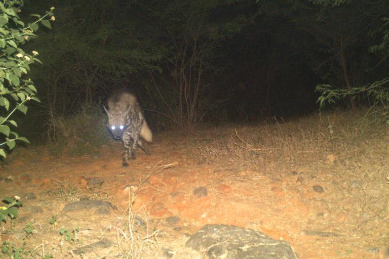 Camera trap image of a striped hyena in the Haryana Aravallis. Photo by Sunil Harsana.