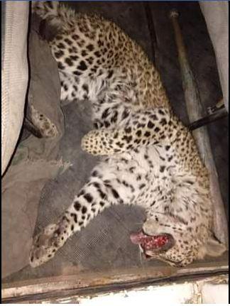 A 10-month-old female leopard killed on Gurgaon-Faridabad highway. Photo by Sunil Harsana.