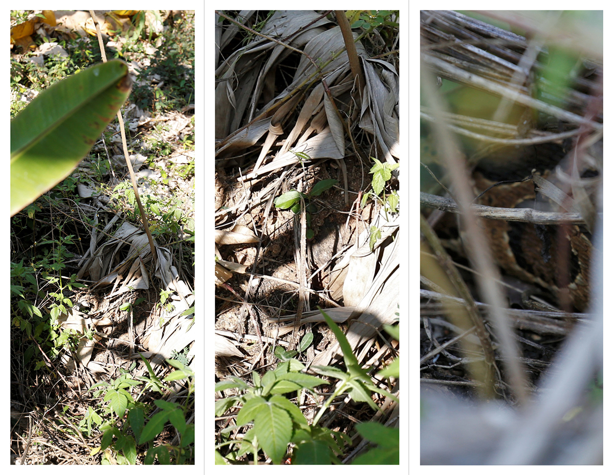 A Russell's viper perfectly camouflaged near a field. Photos by Abhishek N. Chinnappa.