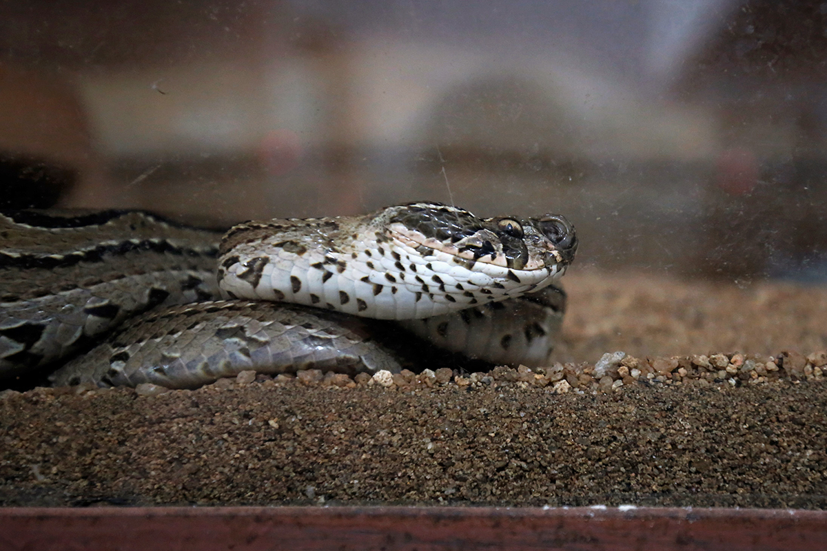 A Russell's viper inside its enclosure at Liana Trust. Photo by Abhishek N. Chinnappa.