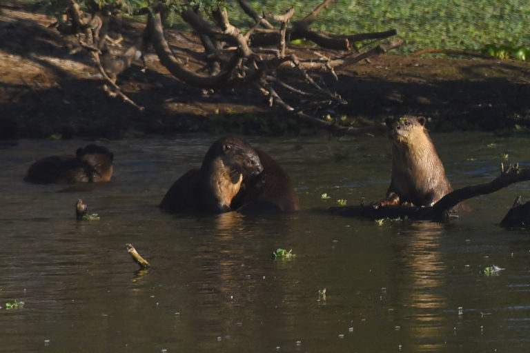 Otters in a bird sanctuary at Uppalapadunear Gunturin Andhra Pradesh. Photo by Ch.Vijay Bhaskar.