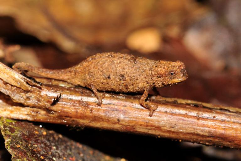 A female Brookesia nana.