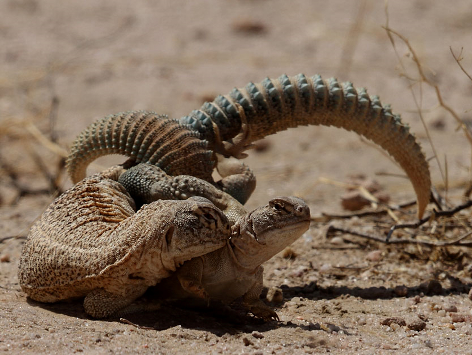 Spiny-tailed lizards. The species is found in patches across the Thar desert, Kutch, and surrounding arid zones in India and Pakistan. Photo by Gobind Sagar Bhardwaj.