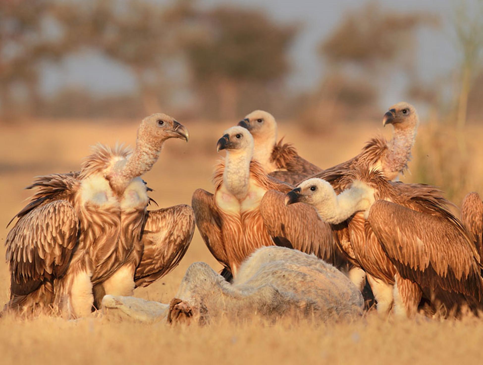Eurasian griffon (Gyps fulvus) in Thar. Of the nine species of vultures found in India, seven have been observed in the Great Indian Thar desert of Rajasthan. Photo by Gobind Sagar Bhardwaj.