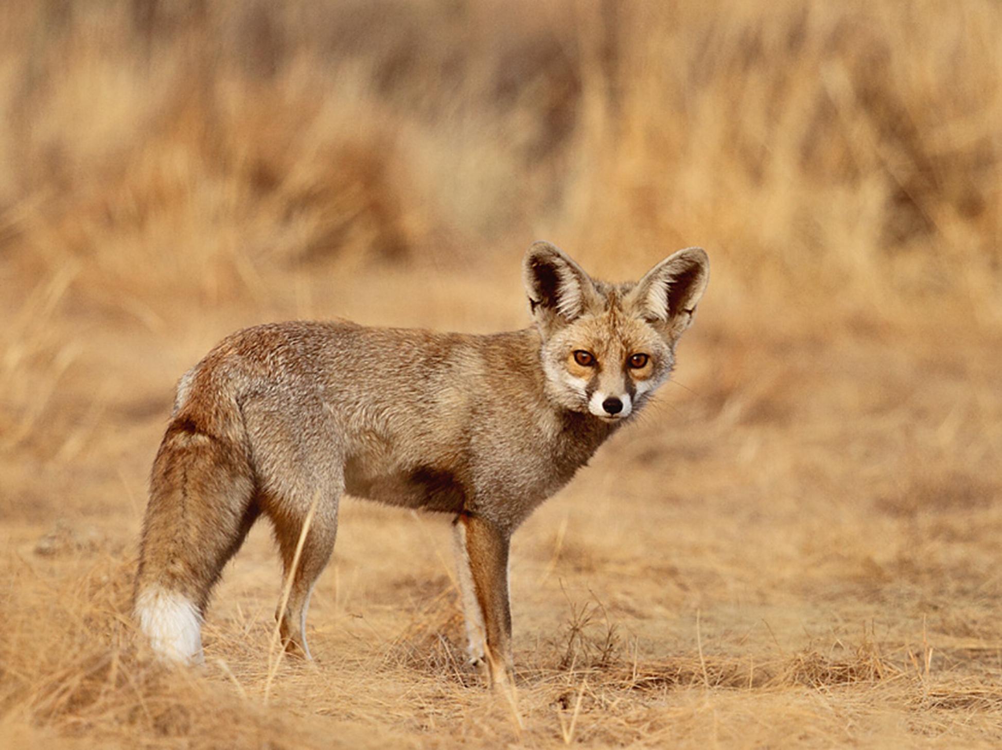 Indian desert fox. It is found mainly in the Thar Desert of Rajasthan and Gujarat. Photo by Gobind Sagar Bhardwaj.