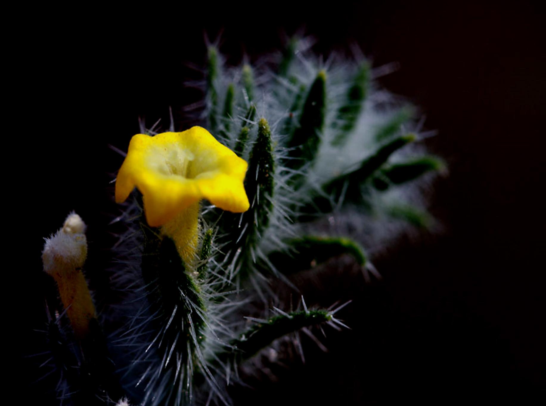 Arnebia hispidissima, which belongs to the family Boraginaceae, is an important medicinal plant of the Indian Thar desert. Photo by Gobind Sagar Bhardwaj.