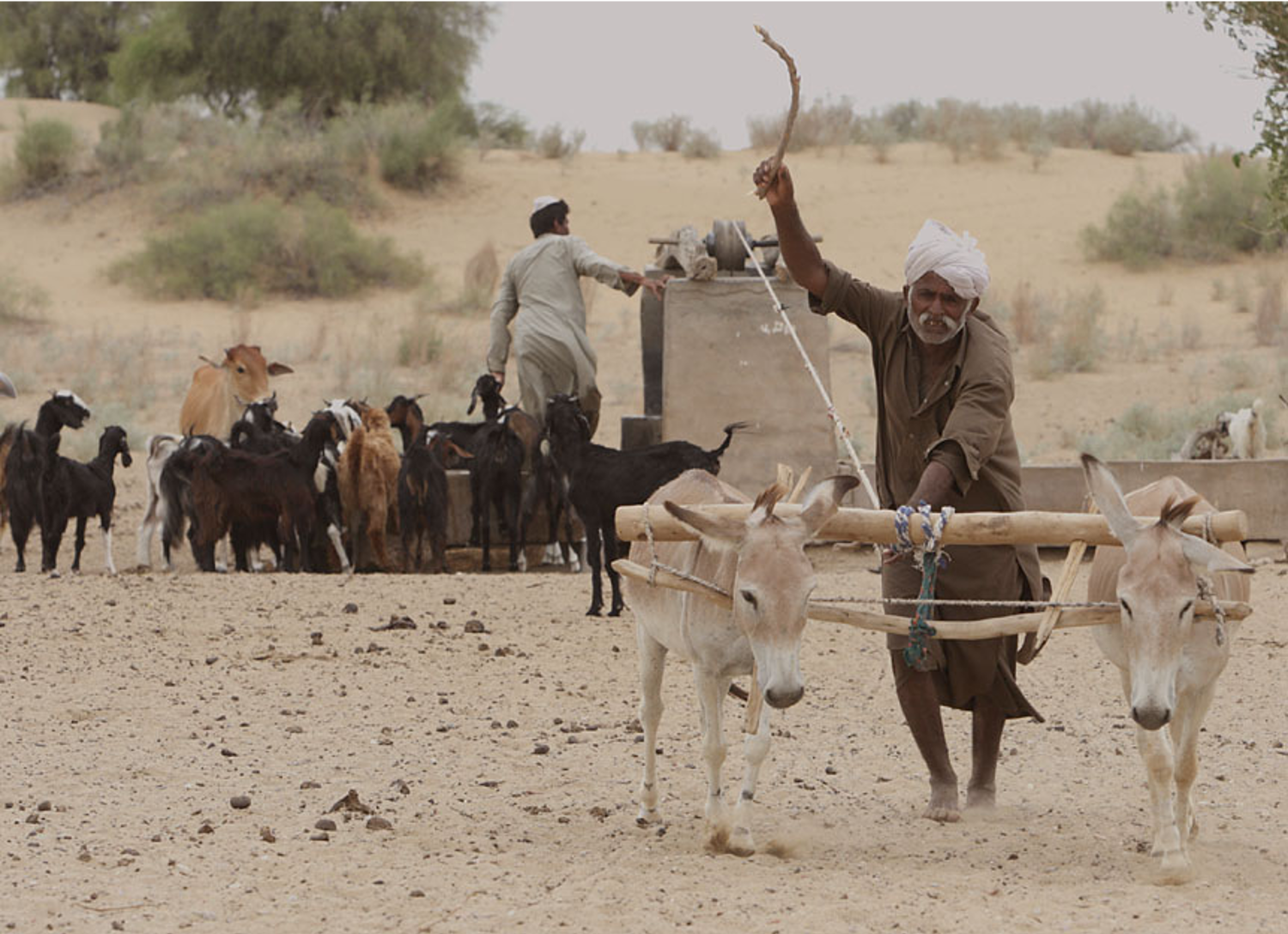 A villager takes the help of a pair of donkeys to pull water from a deep well in Thar. Photo by Gobind Sagar Bhardwaj.