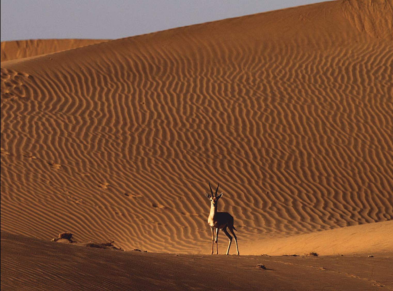 Alert chinkara on a sand dune. Photo by Gobind Sagar Bhardwaj.