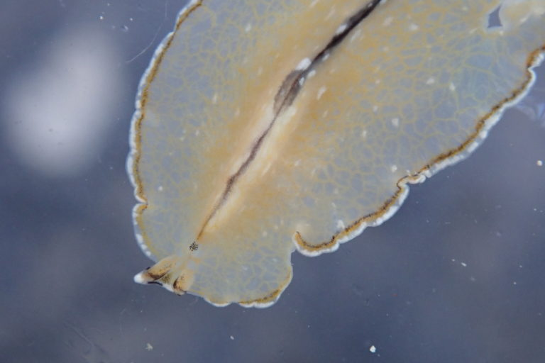Bulaceros newcannorum in a petri dish with the numerous gut branches visible. Photo from Centre for Marine Living Resources and Ecology (CMLRE).