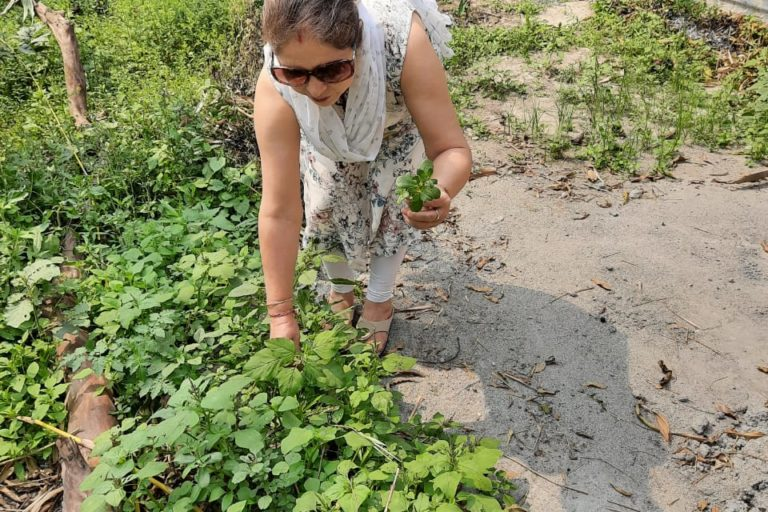 Beli Hazarika picking Khutura xaak (green Amaranth) from her vegetable garden. Photo from Beli Hazarika.