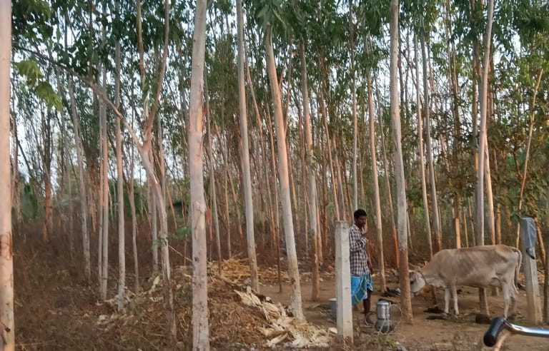 Farmers are increasingly favouring eucalyptus in Vizianagaram district. Photo by Anil Kumar.