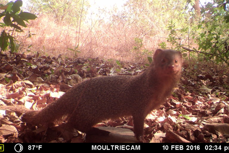 Indian grey mongoose was one of the animals captured by the camera traps in the cashew nut plantations. Photo by Anushka Rege.