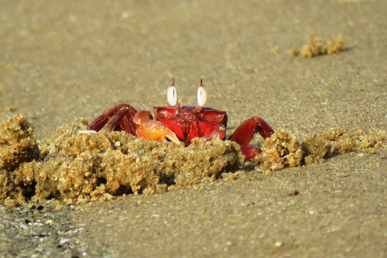 Red Ghost Crab Photo Credit Wikimedia Commons Selvaganesh17