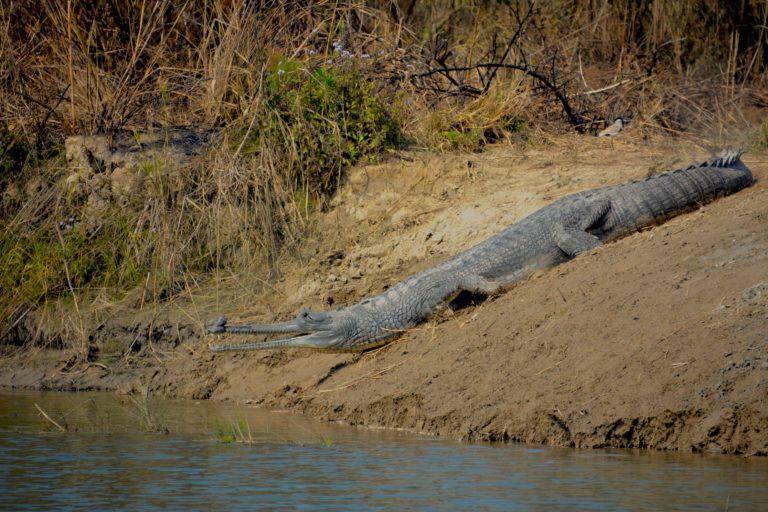 A male gharial basks at a nesting site cleared of vegetation. Photo by Gaurav Vashistha