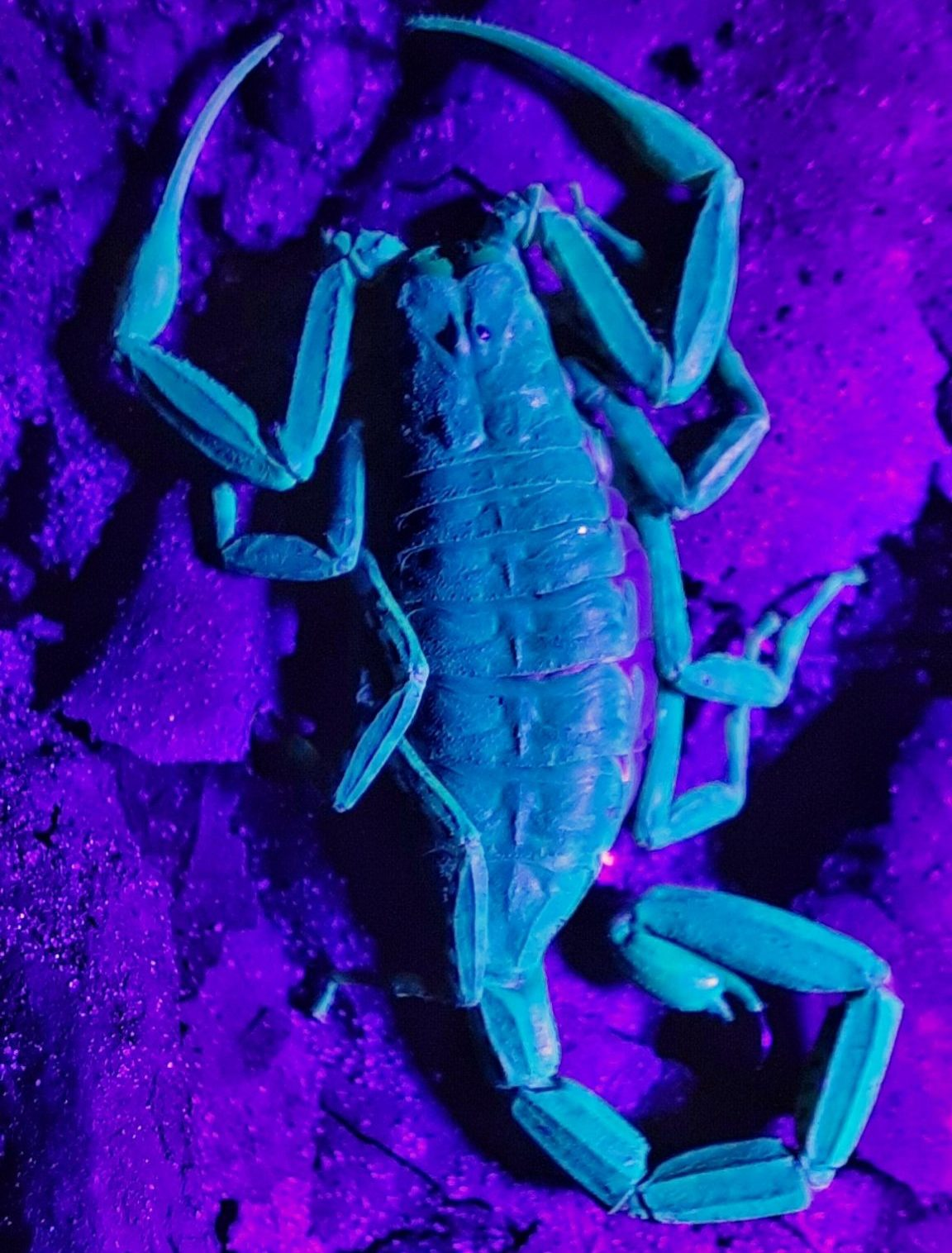 A scorpion belonging to the Isometrus species. Photo credit Shubhankar Deshpande