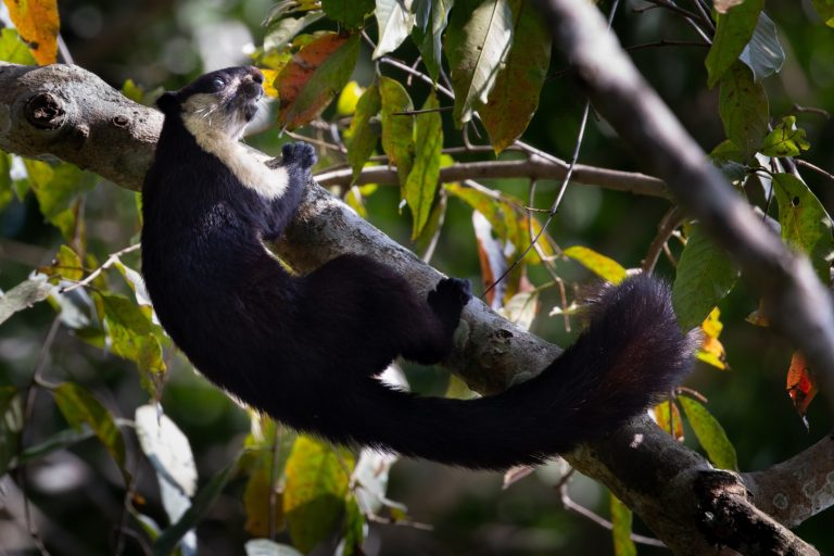 The kebung is a predominantly arboreal mammal. Contiguous canopy cover, therefore, is important for its survival. Photo by Kemaya Kidwai.