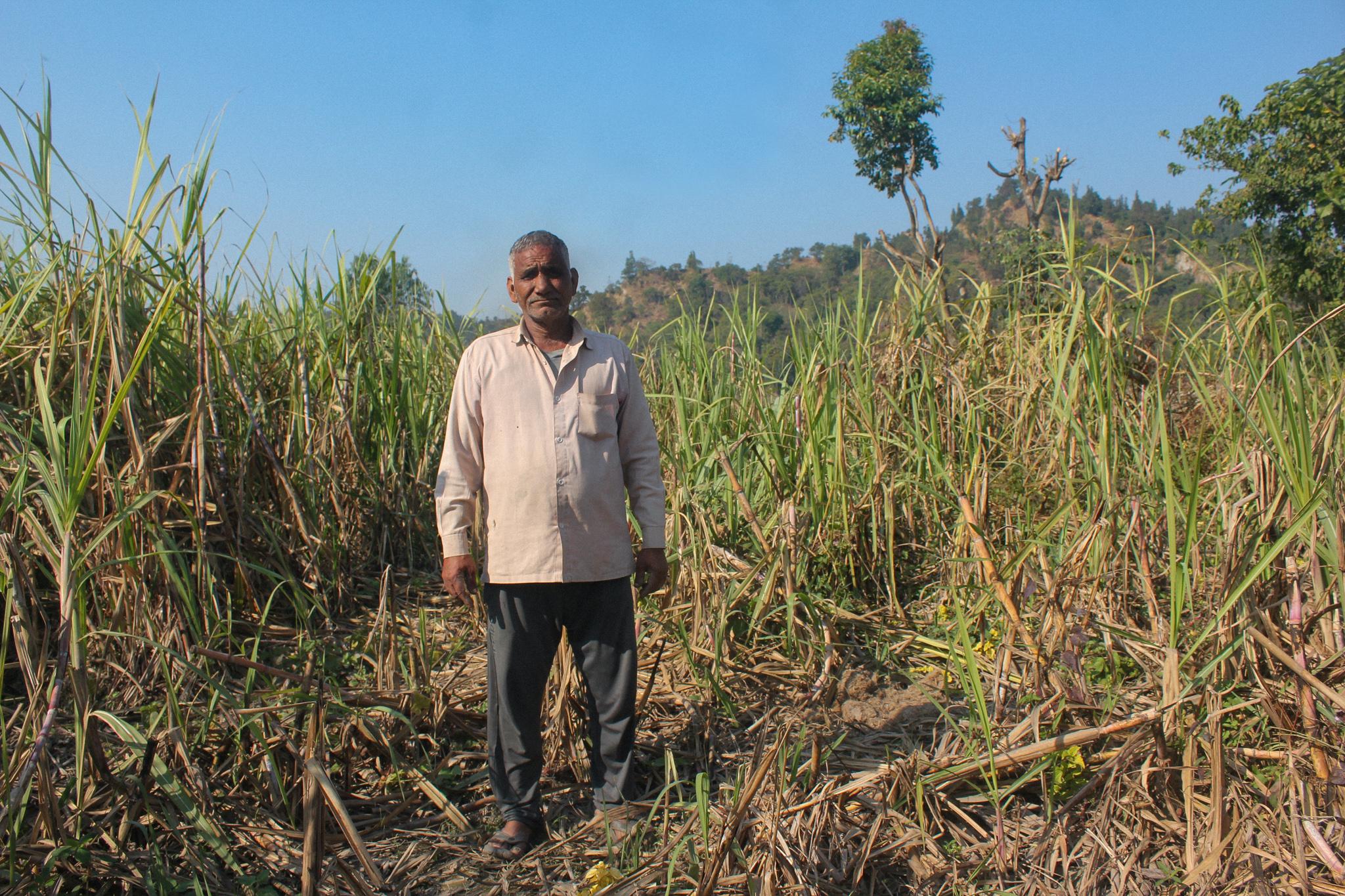 Bahuguna Jeevanan of Peeli Padav village stands between his sugarcane field destroyed by elephants. Image credit: Radhika Gupta