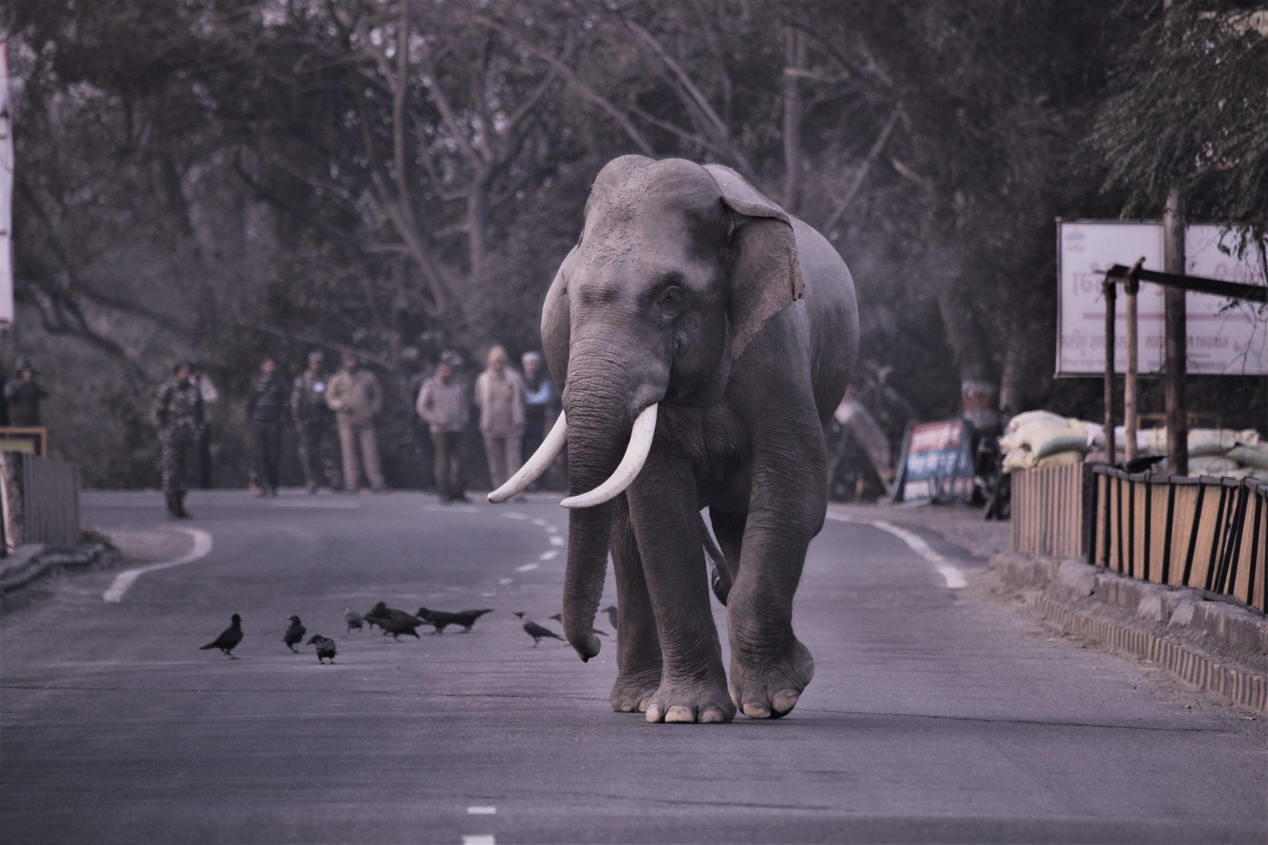 A male Asian elephant crossing the the National Highway 74 Haridwar-Najiabad, Uttarakhand. Image credit: Rajeev Mehta, former honorary wildlife warden Rajaji Tiger reserve.