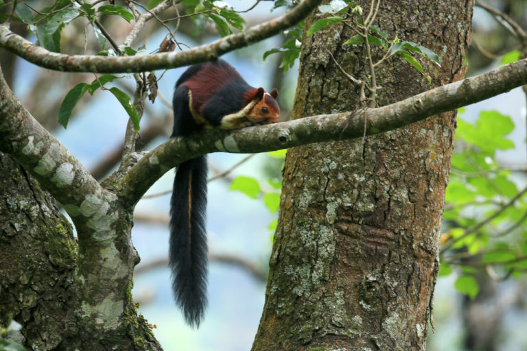 A grizzled squirrel inside Srivilliputhur forests. Photo by Jimmy Kamballur.