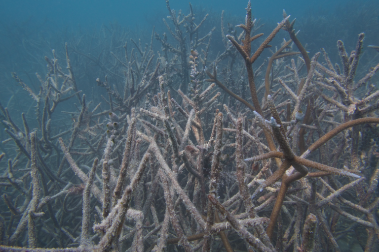 Dead corals at Bangaram Atoll. Within a few weeks, an ocean warming event can kill off large tracts of healthy coral reefs. Photo by Rohan Arthur.