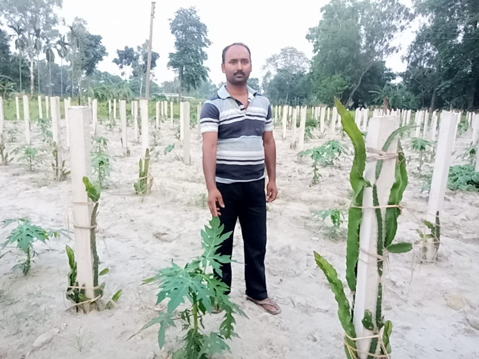 Pavitra Roy in his field with the dragon fruit cacti on pillars for support. Photo by Gurvinder Singh.