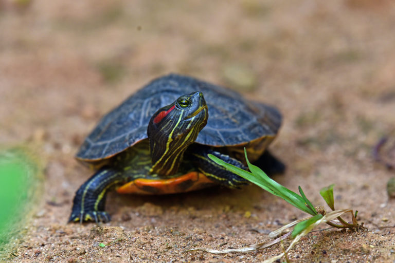 Red-eared slider from Kerala. The invasive species is often abandoned in water bodies by pet owners. Photo by K.A. Shaji.