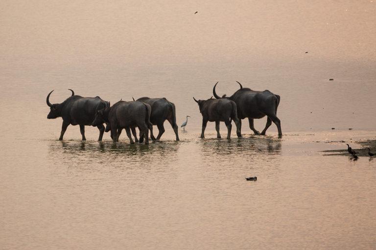 Wild buffalos, Kaziranga National Park, Assam, India. Photo by Gregoire Dubois/Flickr
