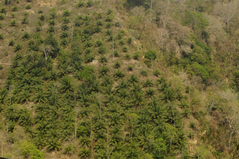 An oil palm plantation established on steep sloping land traditionally used for shifting cultivation (or jhum) near Dampa Tiger Reserve in Mamit District, Mizoram, India. Photo by T. R. Shankar Raman/Wikimedia commons
