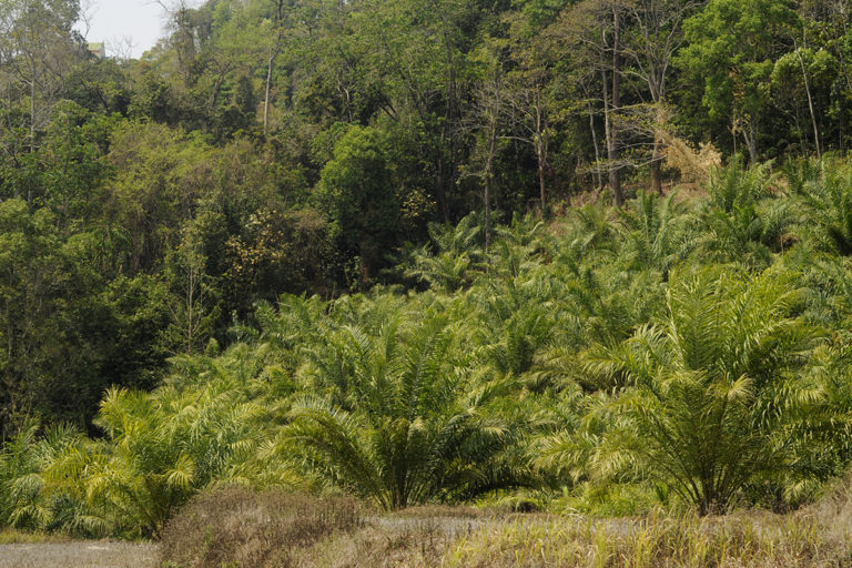 Oil palm plantation replace secondary forests traditionally used for shifting cultivation (jhum) near Dampa Tiger Reserve in Mamit District, Mizoram, India.