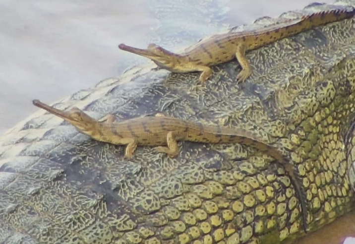 Hatchlings spotted on mother gharial in Mahanadi river system in Odisha. Photo by Odisha Forest Department.