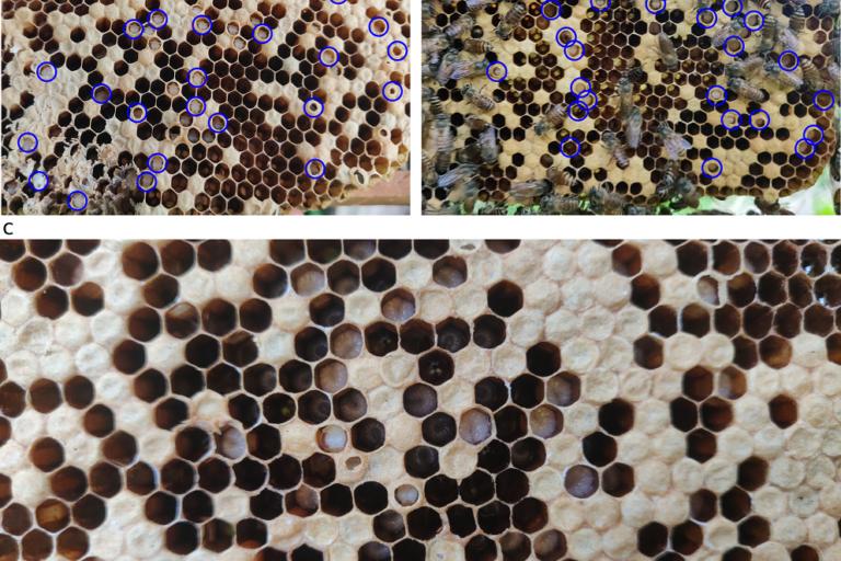 Thai Sac Brood virus (TSBV) disease attacking Indian honey bees has been posing threat to hives of Apis cerana. Photo by Chinmaya KV.