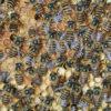 Apis cerana bees. Photo by Denis Anderson, CSIRO/Wikimedia Commons.