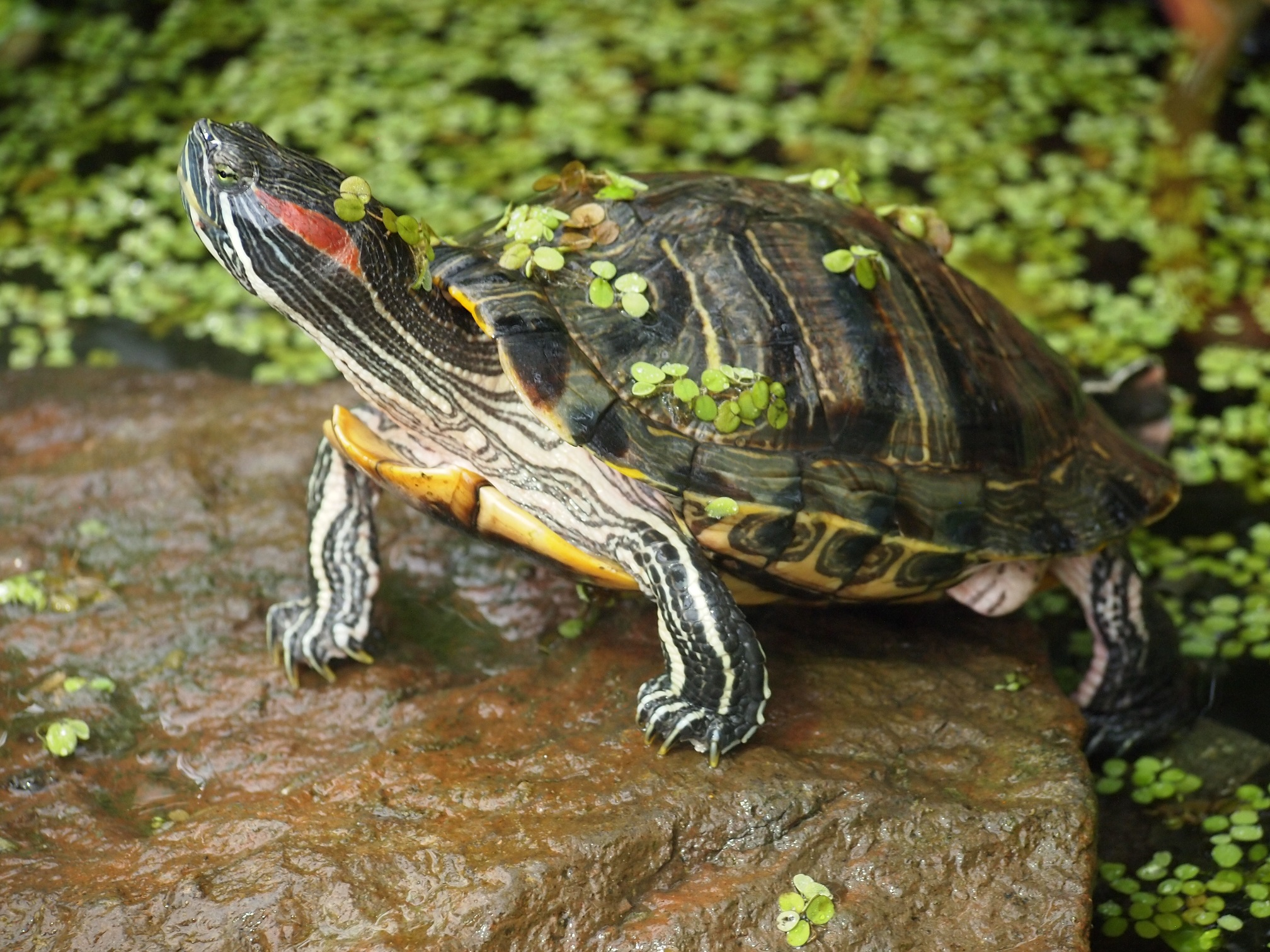 Red-eared slider from Maharashtra. The invasive species is often abandoned in water bodies by pet owners. Photo by Rahul Kulkarni.