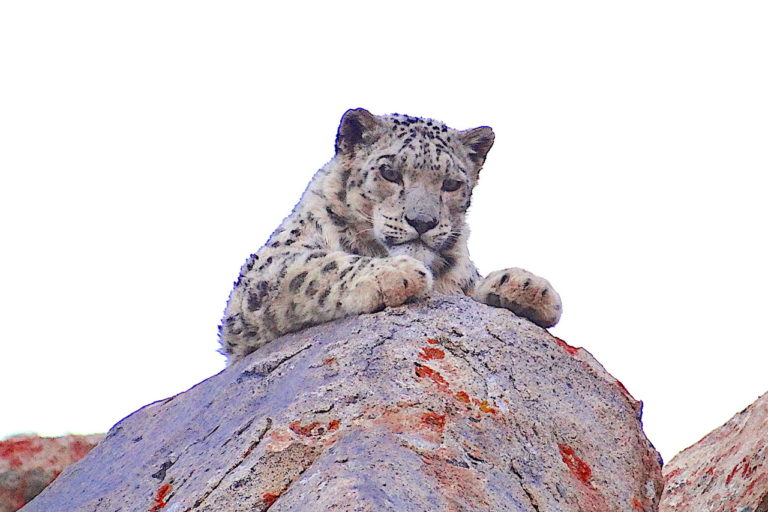 The population of Snow Leopard in Ladakh is estimated to be around 200-300. Photo by Lobzang Visuddha.
