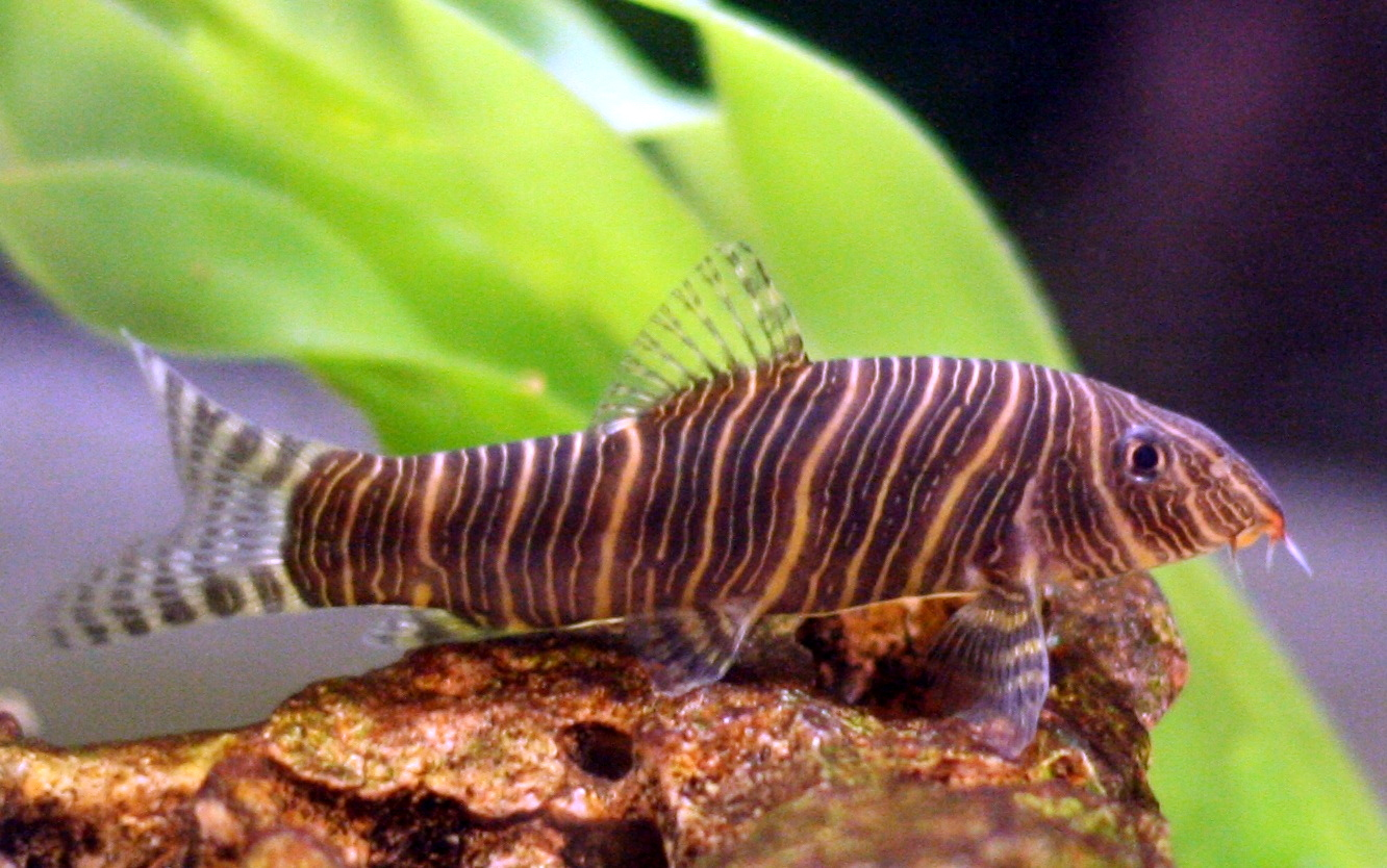 The endangered zebra loach, found only in the Western Ghats of India, in an aquarium outside the country. The demand for the pet as an ornamental fish has lead to unregulated trading. Photo by Lerdsuwa/Wikimedia Commons.