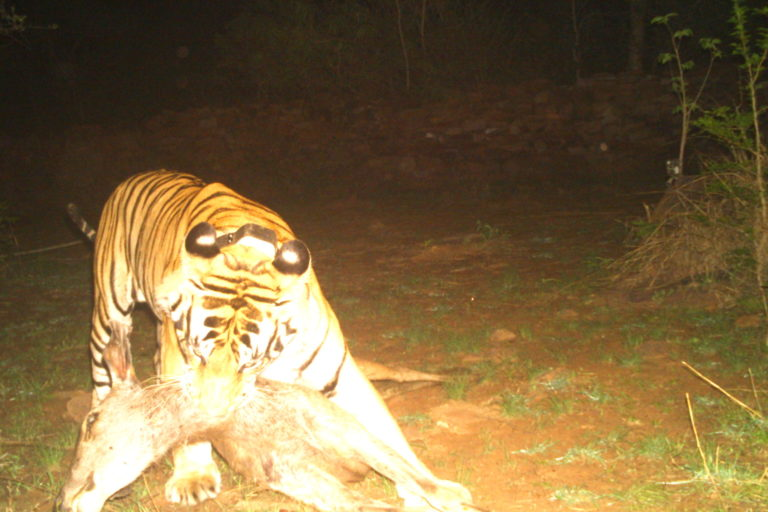 On May 21, 2021, the male tiger hunted a sambar and shared the prey with all four cubs. Camera traps placed by PTR captured the hunting. Photo by Panna Tiger Reserve.
