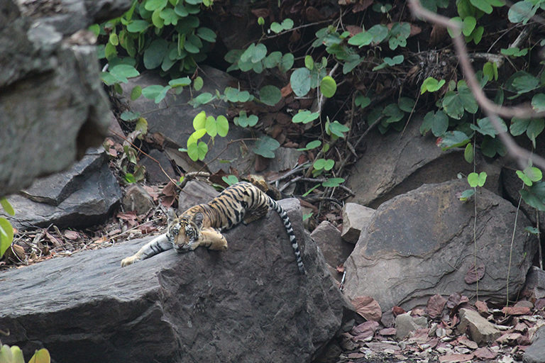Ground staff found tiger cubs playing in their 1-km long terratory. All had started eating kills with the mother, but they are not seen hunting any live prey till now, according to PTR. Photo by Panna Tiger Reserve