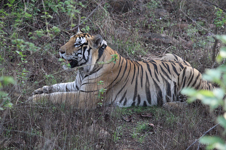 Male tiger P243 has been successfully collared by PTR to monitor his behaviour. Photo by Panna Tiger Reserve