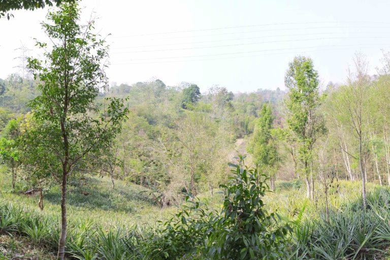 Pineapple agroforestry system in southern Assam. Photo by Animekh Hazarika.