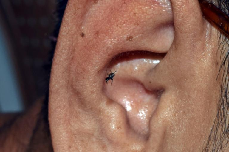Lisotrigona bee drinking sweat on the ear at Thenzawl (Mizoram). Photo by Rojeet Thangjam.