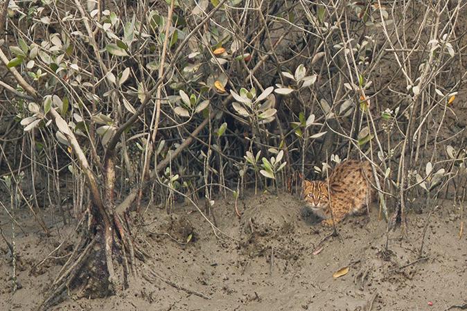 Fishing cat in Sundarban. Photo by Soumyajit Nandy/Wikimedia Commons.
